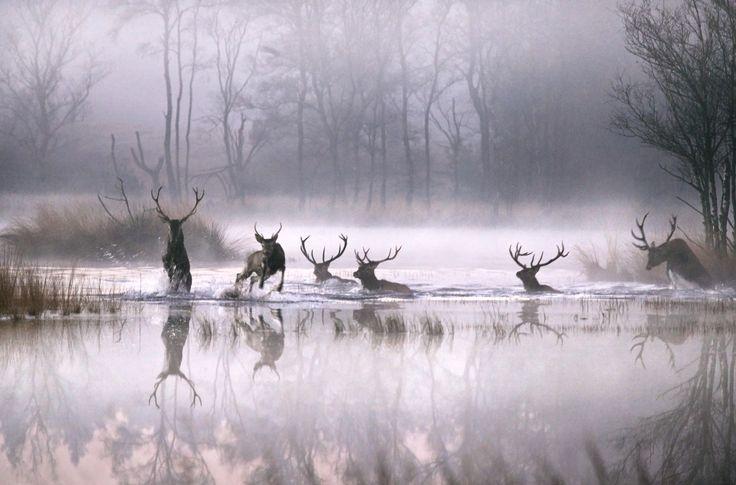 Deer, Nationaal park de Hoge Veluwe, Netherlands