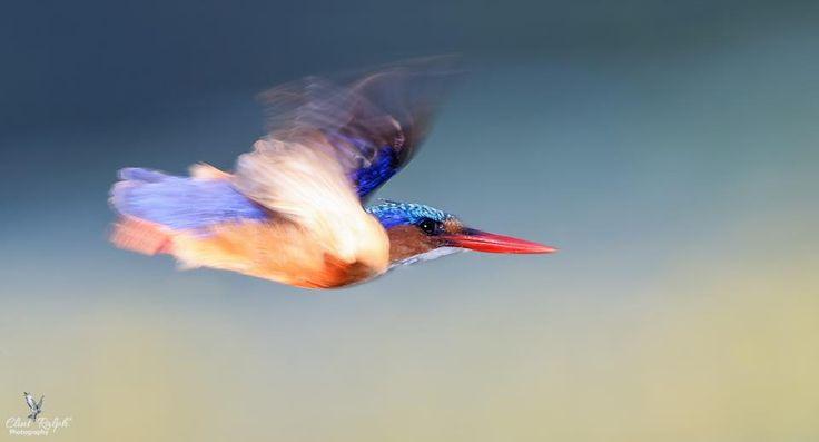 Speed Blur (Malachite Kingfisher), Loskop Dam, South Africa
