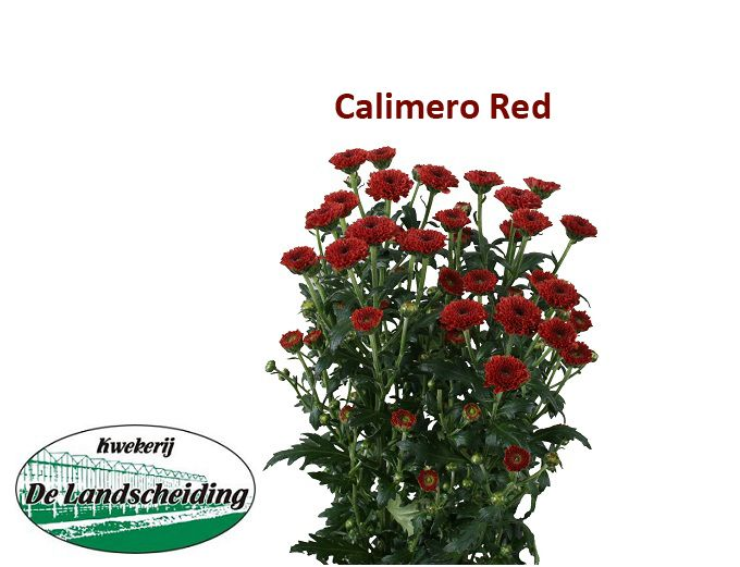 Calimero red