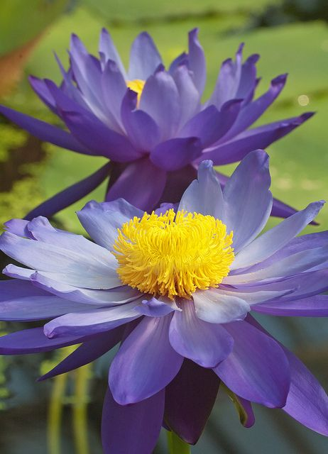 This is an Australian native waterlily