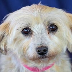 Pictures Of Annabella A Maltese For Adoption In Phoenix Az Who Needs A Loving Home Pets Kitten Adoption Maltese