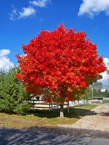 October Glory maple trees produce bright red flowers in springtime, dark green leaves in the summer, and some of the most vibrant red foliage in the fall!