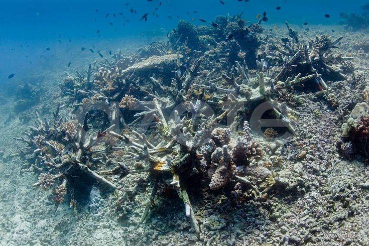 Återetablering av korallrev