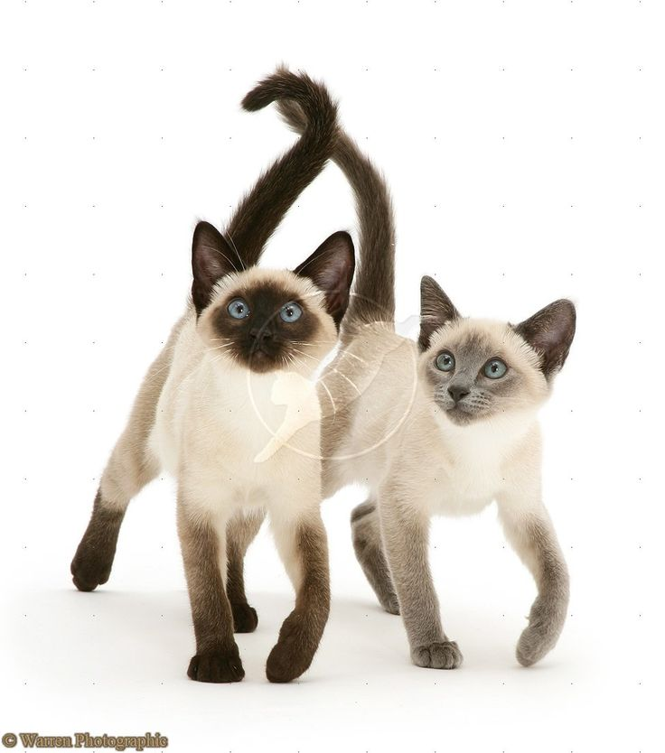 233 best Traditional Siamese cats (applehead) images on ...