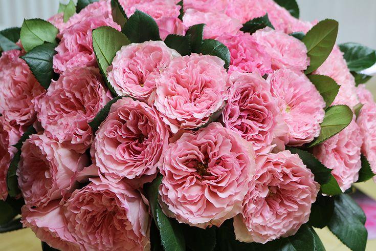 mayras rose pink by continental breeding