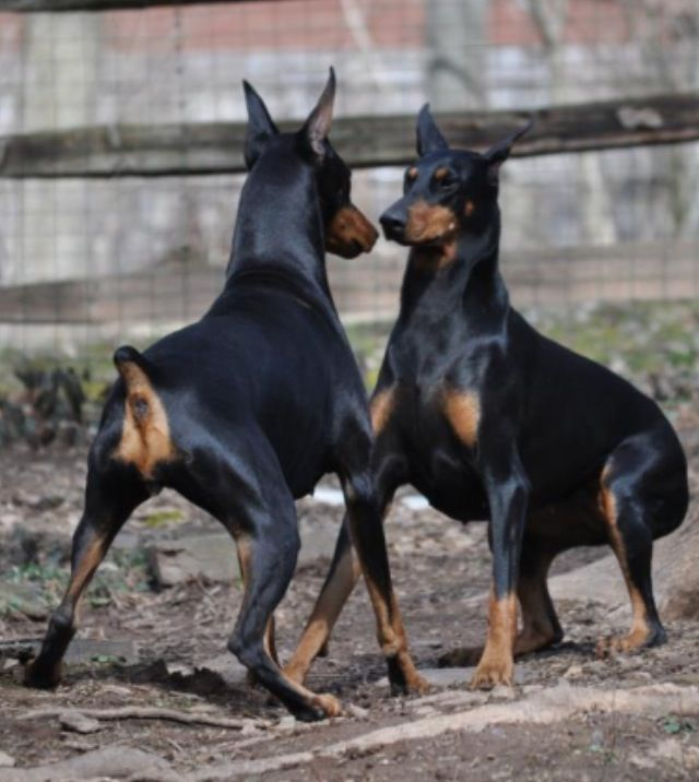 Let's play! The Dobie play instigation - I have  enjoyed watching this SO many times with mine, black streaks running through the house, yard, even in one of the crates!!