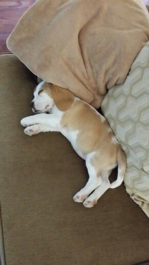 Red and white Beagle puppy