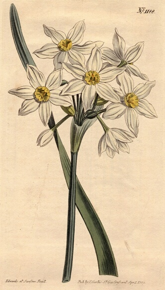 White Narcissus Botanical Drawing Nature Narcissus Flower Tattoos Narcissus Tattoo