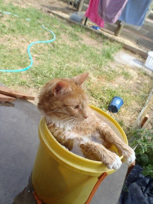 Temperature Outside: Cat Willing to Sit in Water Bucket