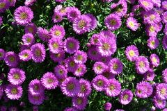 Nadia Mikushova. Fresh daisy flowers in a sunny summer day.