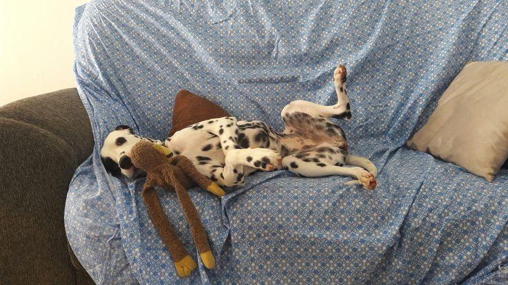Eu e meu macaco 🐒  #dalmatian #doglover #dogstyle #dalmata #dog #pet