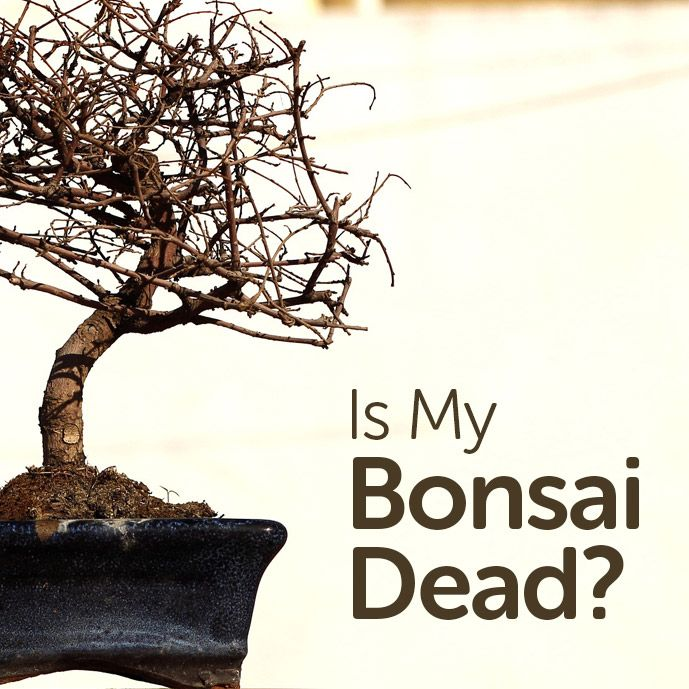 Is My Bonsai Tree Dead With Images Bonsai Tree Types Bonsai