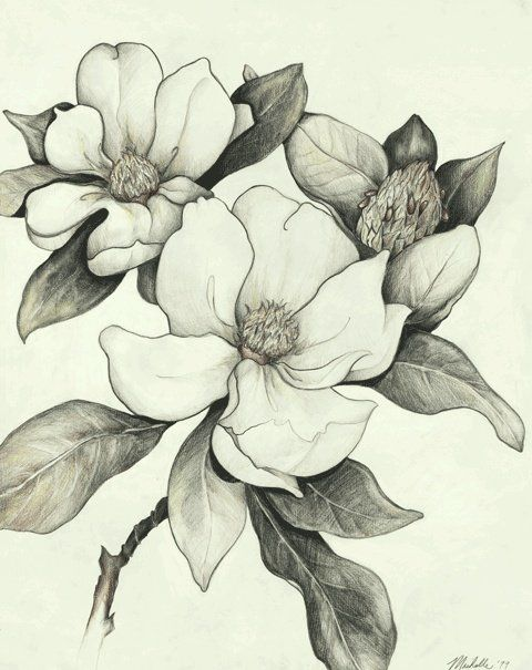 Magnolia sketch  | followpics.co