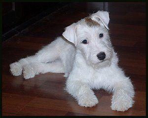 Tintin's dog snowy!