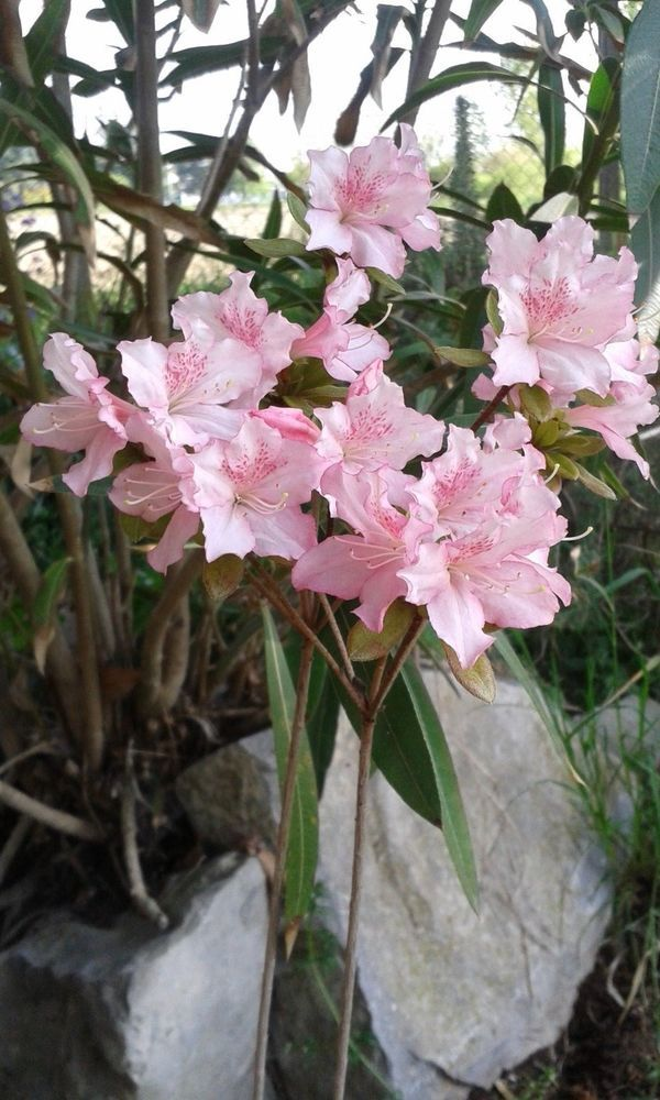 "azalea da giardino o per bonsai ""Baraggia"""