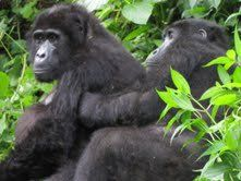 Do you want to get a glimpse of the great ape? Take a wild tour to Africa for a memorable gorilla experience. With Gorilla Safaris Uganda, you will get the opportunity to connect with nature and interact with wild gorillas!