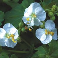 Geranium macrorrhizum 'snow sprite'a aromatic  from dainty leaves - should have a place in every garden