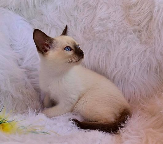 Available Kittens Balinese In 2020 Kittens