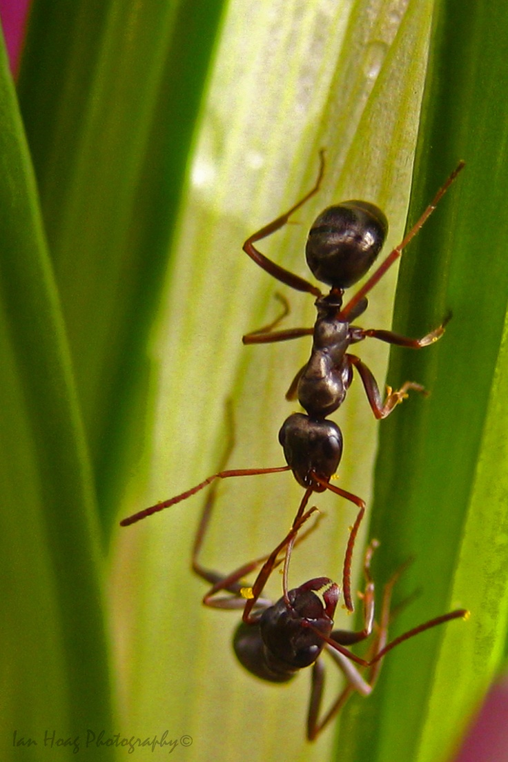 150 best ants images on pinterest ants insects and macro