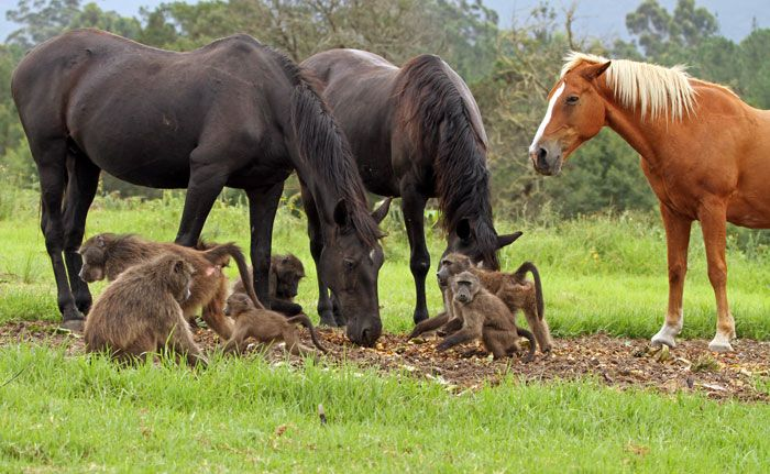 Baboons monkey around with a group of horses at the Monkeyland sanctuary in the Crags.