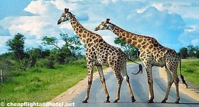 Save up to 62% off cheap flight and hotel in Kruger National Park, South Africa.    Book Cheap Hotels  http://cheapflightandhotel.net/    Book Cheap Flights  http://cheapflightandhotel.net/flight/