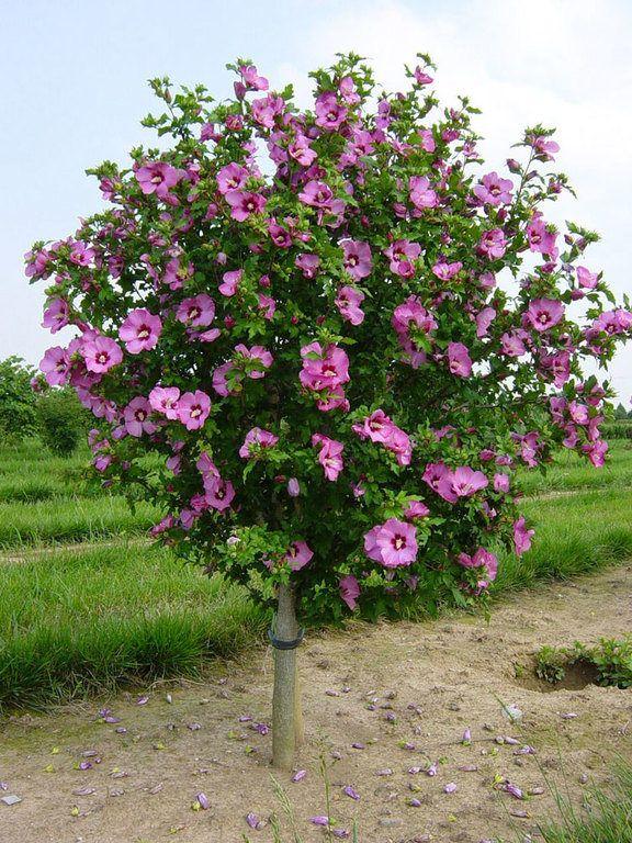 Hibiscus syriacus 'Aphrodite' Aphrodite Rose of Sharon