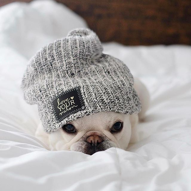 'Love Your Melon', Theo, the French Bulldog, @theobonaparte on instagram