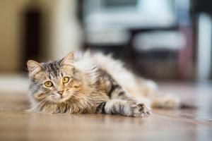 Thanks to the International Cat Care organization, some great new revisions have been made to the comparative ages of cats to humans. Welcome to Juniors, Prime cats and Mature cats.: Prime Cats - From Three to Six Years Old
