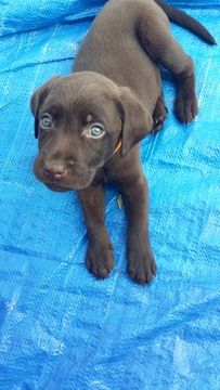 Litter of 4 Labrador Retriever puppies for sale in