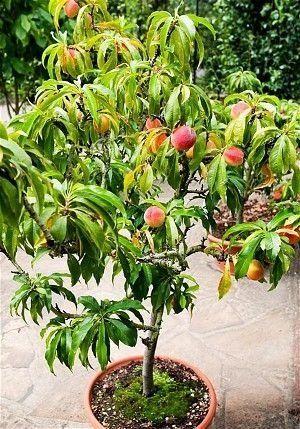 Nome científico: Prunus persica O pessegueiro anão é uma raridade sem igual. A muda com apenas 30cm de altura já produz pêssegos grandes, doces e suculentos, de sabor delicioso. Quando plantado em vasos produzirá pessegos tão bem quanto se estivesse diretamente no solo. Nativo da China Central, os pessegueiros têm uma história de cultivo tão antiga quanto a da agricultura. Há uma série de variedades de pessegos, em geral todas elas necessitam de períodos bastante frios para que possam…