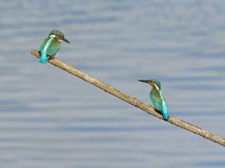 Kingfisher duo by Erik Veldkamp on 500px