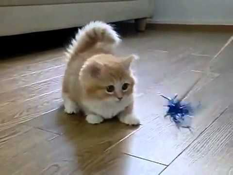 Nimm ein flauschiges Kätzchen, ein Katzenspielzeug und voila! Sofortige Niedlichkeit und du hast deine …   – Kittens