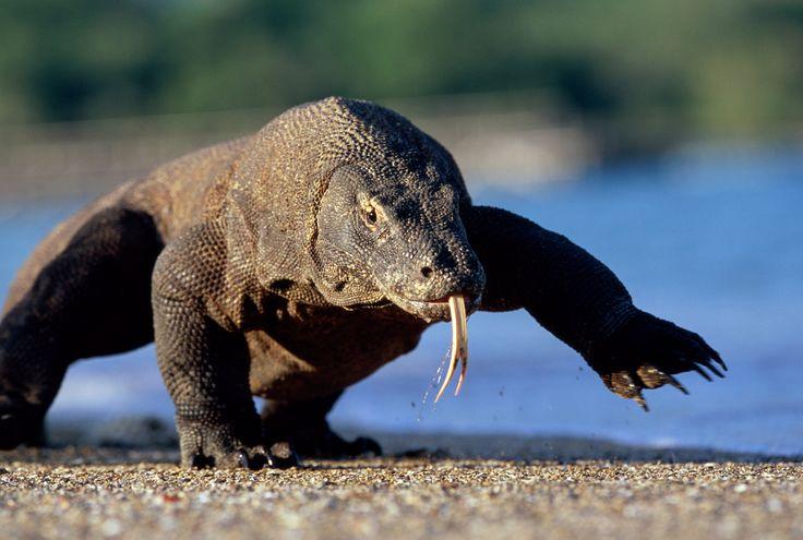 Komodo Dragon Bites Tourist Trying to Take Photos - Condé Nast Traveler