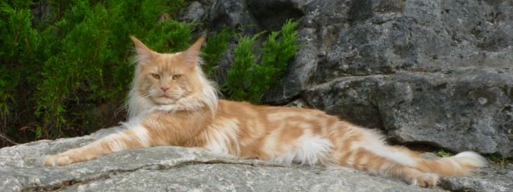 Maine Coon Red Smoke (ds). (N)Lurvens Fellini