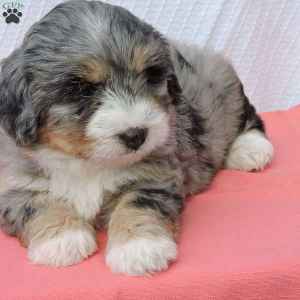 Roxie Mini Bernedoodle Puppy For Sale In Ohio Bernedoodle Puppy Puppies Mini Bernedoodle