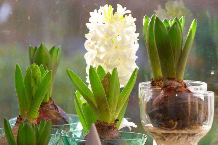 Svibel (Hyacinthus orientalis) hører hjemme i Hyasintfamilien / Hyacintceae
