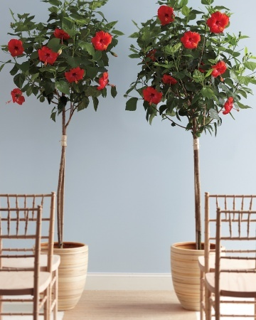 "For a stunning ceremony marker, set two like-size topiaries in simple pots and stand in front of them as you say ""I do."""
