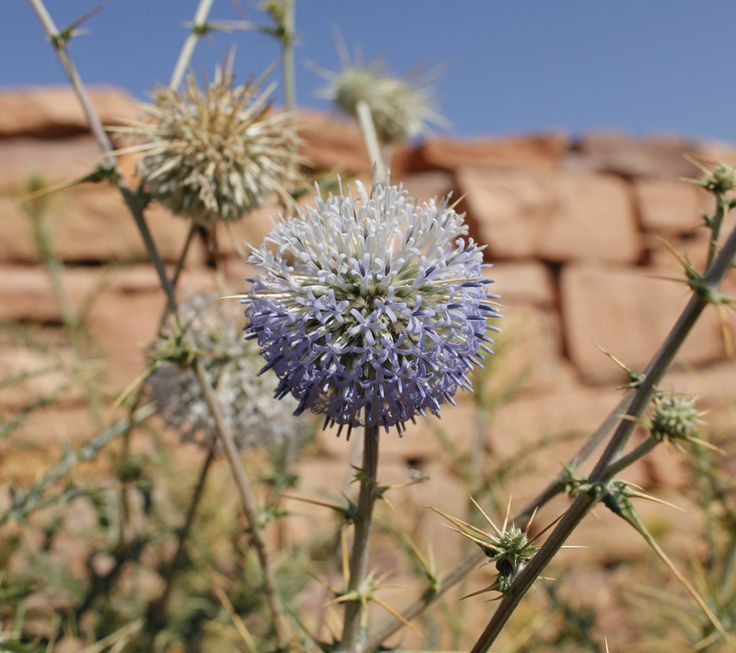 Echinops echinatus or globe thistle. Locally known as oont kantalo, this spiny plant is part of the daisy family