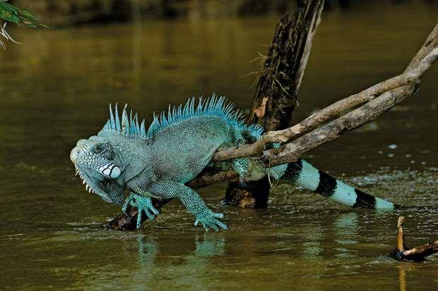 L'iguane en équilibreUn iguane vert (Iguana iguana) se repose sur les branches d'un arbre du Río Guayabero, dont le Caño Cristales est un affluent. Ces reptiles sont courants dans la zone.