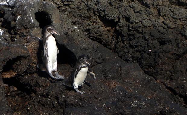 Em Galápagos está o único pinguim encontrado no Hemisfério Norte, o pinguim-de-Galápagos. Apesar de serem extremamente desajeitados em terra, parecem estar voando como foguetes enquanto perseguem cardumes de peixes. A pesca predatória, a introdução de animais domésticos, que podem caçar as aves ou transmitir doenças, e eventos relacionados ao El Niño, que aumenta a temperatura dos oceanos e diminui a quantidade de alimento disponível, são as grandes ameaças: http://abr.io/4g3r