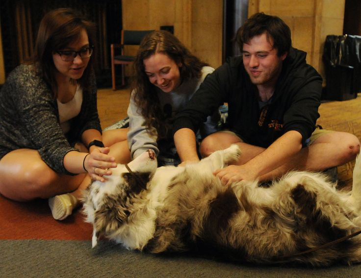 "Iowa State University sophomore Brie Johnson, and juniors Emma Bravard and Logan Crees pet a Border-Collie therapy dog, name Ben, during ""Barks at Parks"" at Parks Library on Tuesday. The program provides relaxationfor students as they prepare for final exams. Photo by Nirmalendu Majumdar/Ames Tribune"