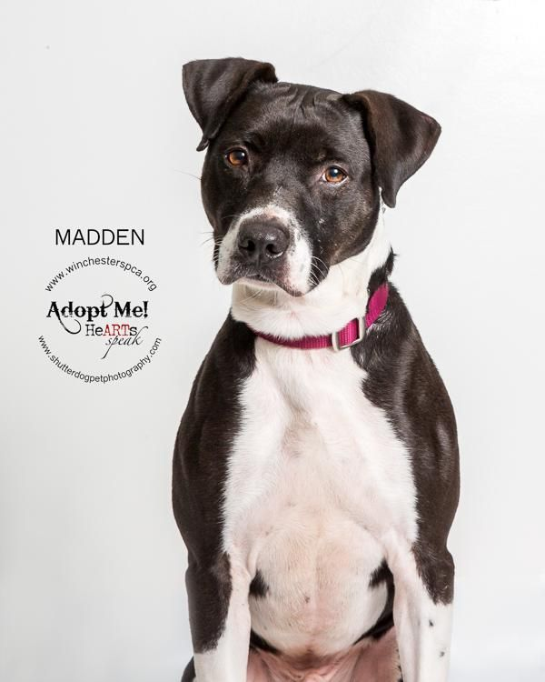 Meet Madden, an adoptable Pit Bull Terrier looking for a forever home. If you're looking for a new pet to adopt or want information on how to get involved with adoptable pets, Petfinder.com is a great resource.