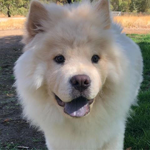 Very Excited To Meet This Chow Puppy Not A Breed You See To Often