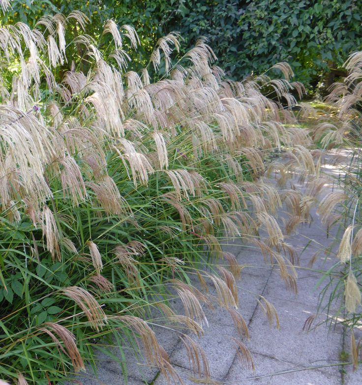 Miscanthus nepalensis alongside a path