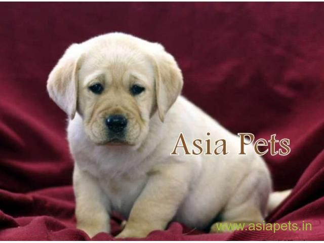 Labrador Pups Price In Nashik Labrador Pups For Sale In Nashik