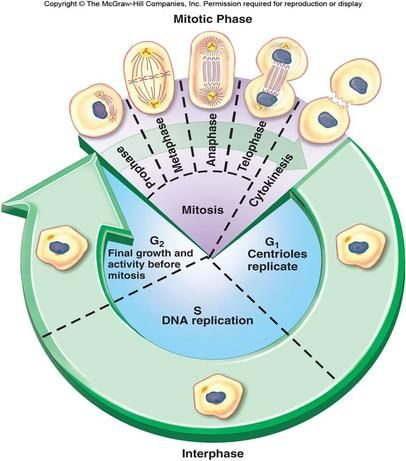 Cell Cycle Phases | This phase is then subdivided into 3 other phases: Biology, studying for a test.