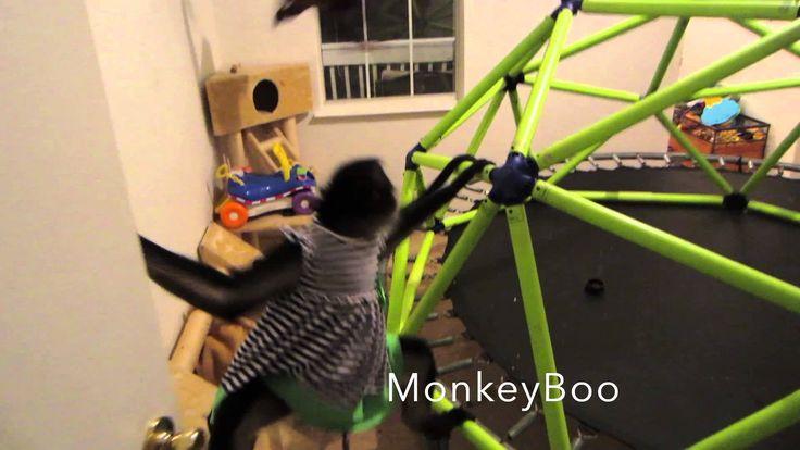 Capuchin Monkey and Spider Monkey PlayTime!