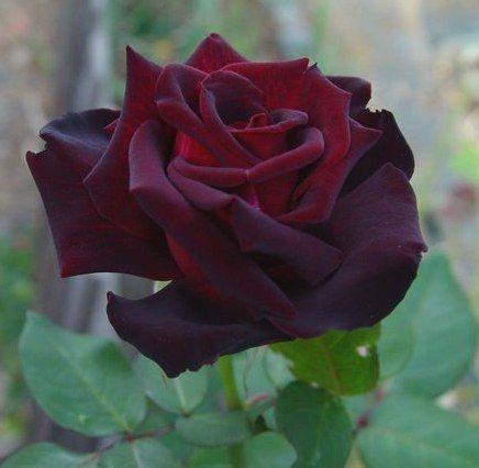 rose taboo tanelorak bred by hans j rgen evers. Black Bedroom Furniture Sets. Home Design Ideas