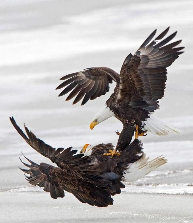 58 best American Bald Eagle art, photographs, information and just ...