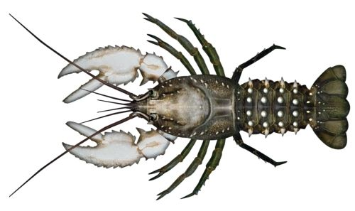 Murray crayfish